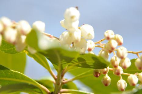 Pieris japonica.