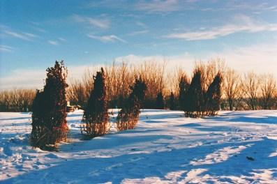 Des buissons emballés pour l'hivers.