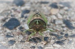 Cicada-head