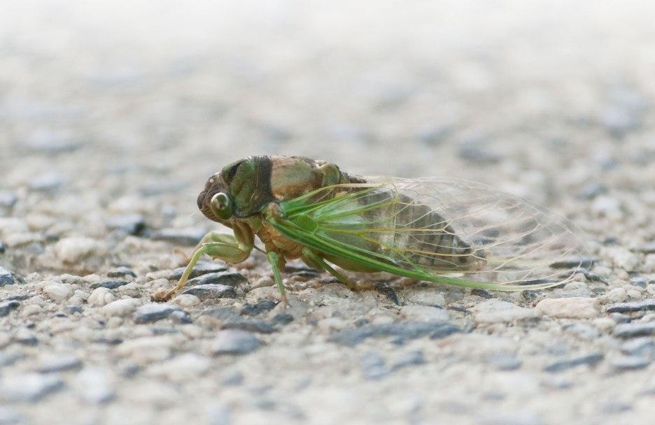 Cicada-profile