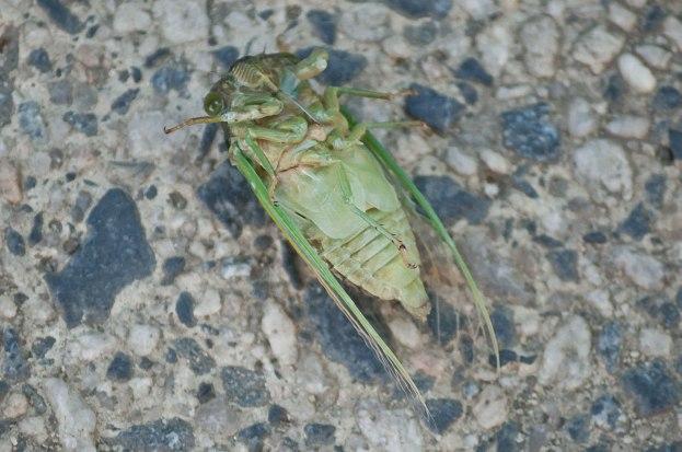 Cicada-underside