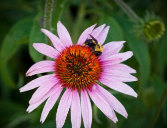 Coneflower and Bumble Bee