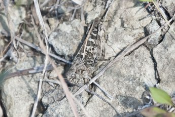 perhaps-a-clouded-grasshopper