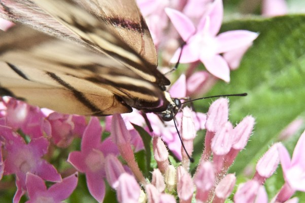 tiger-swallowtail-strange-angle