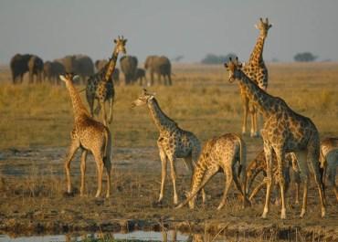 Sunway Botswana Chobe giraffe