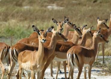 Sunway Botswana Moremi NP impala watching for predators