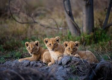 Sunway Botswana Moremi NP lion cubs