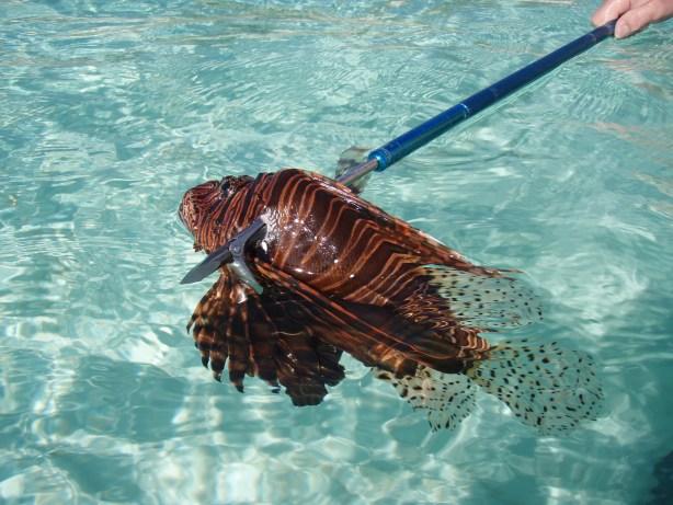 Foldspear, the best spear for Lionfish