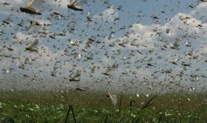 Nuvem de gafanhotos invade a Argentina e pode chegar ao Brasil