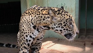 Read more about the article Onça resgatada com queimaduras no Pantanal será reinserida na natureza