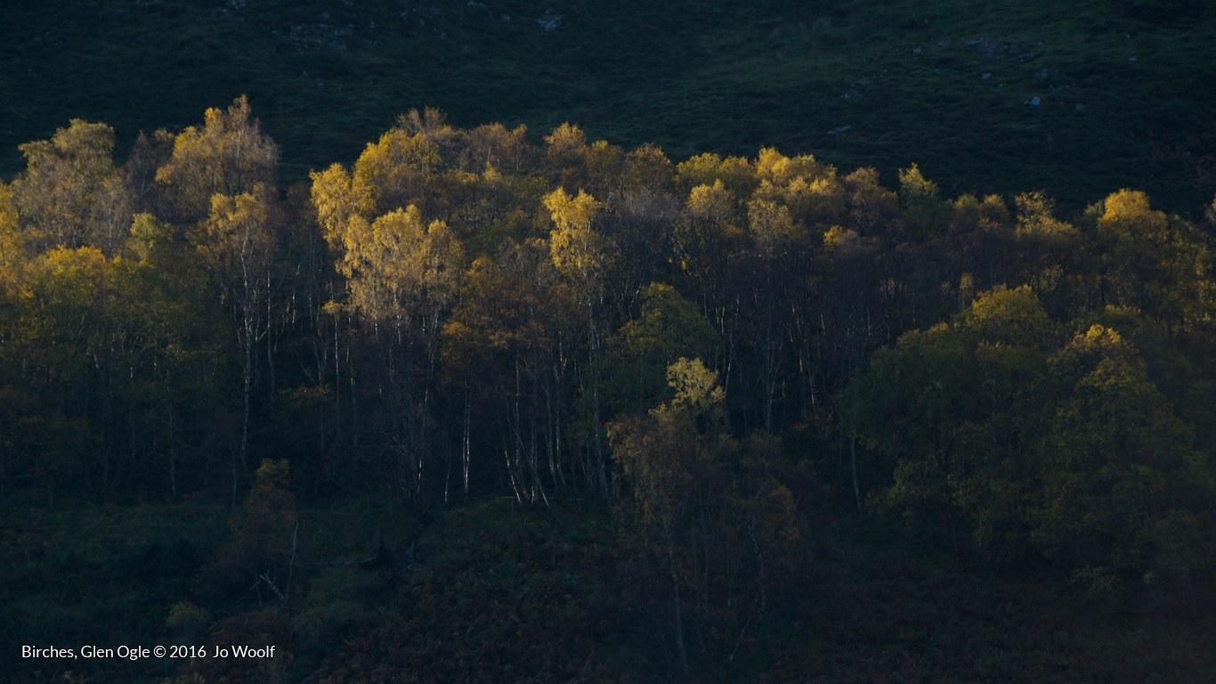 Tree folklore: Birches, Glen Ogle © Jo Woolf.