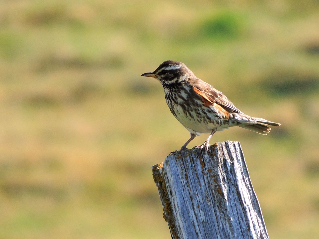 A redwing on its Icelandic breeding grounds © Edward Parnell