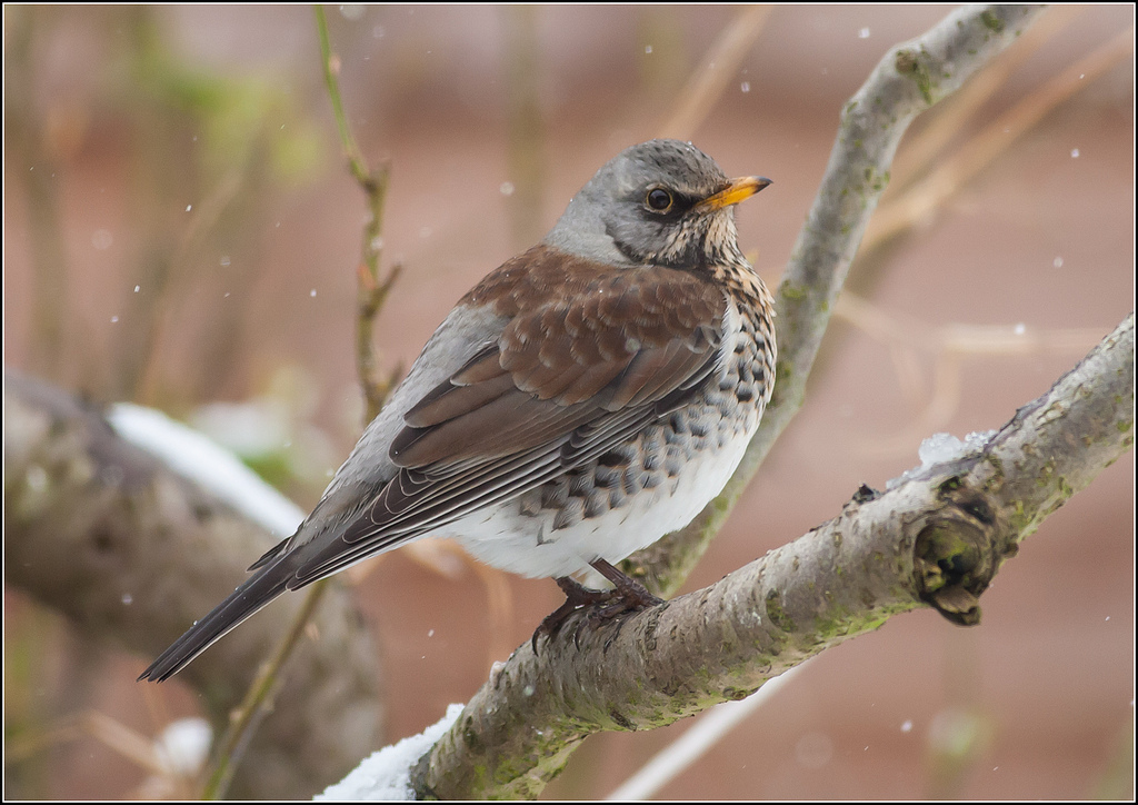 Fieldfare (Turdus pilaris) © Tony Smith http://bit.ly/2hvG3z5