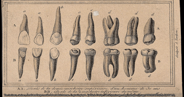 The incisors, canines, small and large molars of an adult human. Engraving by A. Tardieu. © http://wellcomeimages.org/indexplus/image/V0011998.html, CC BY 4.0