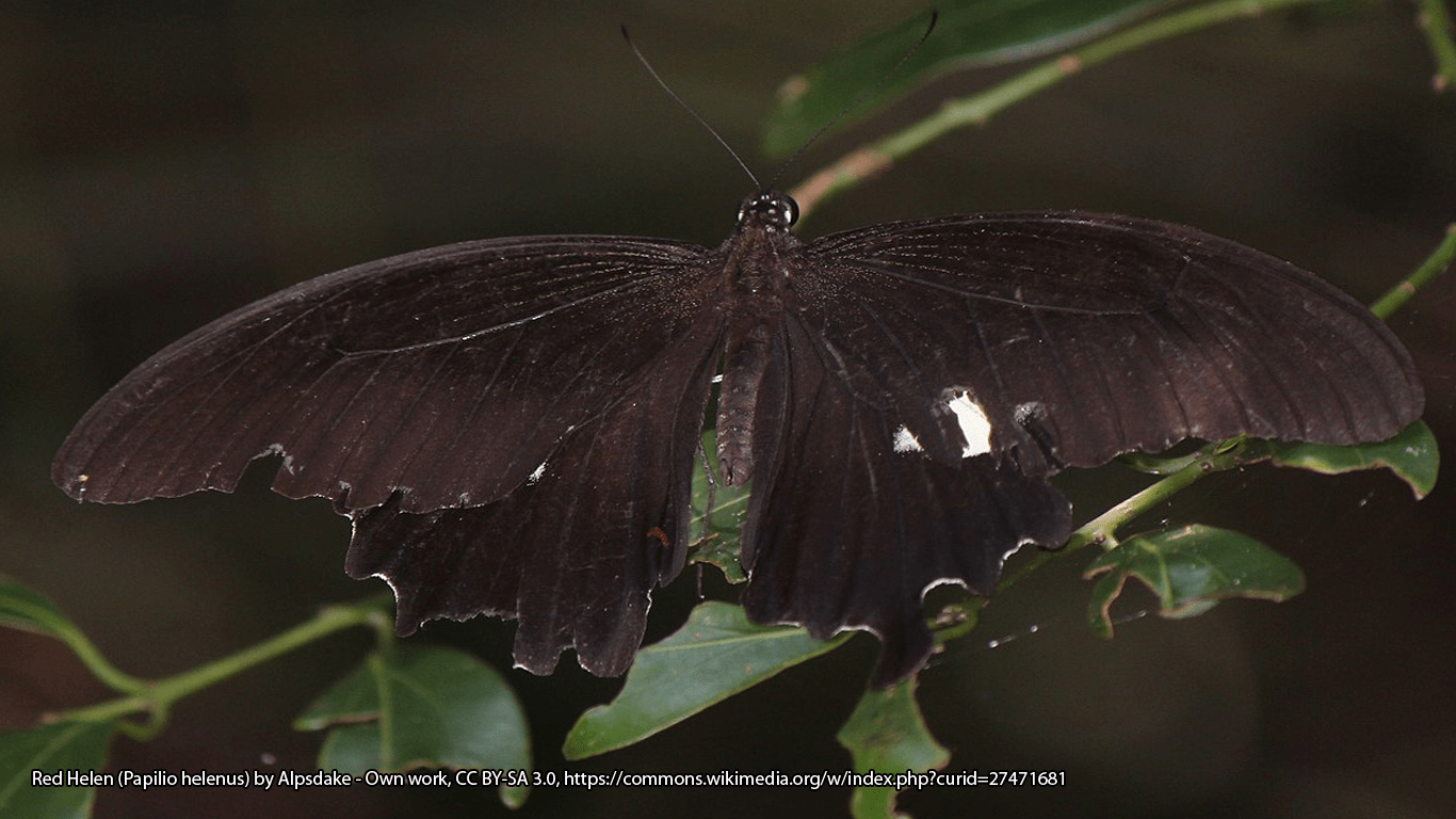 Red Helen (Papilio helenus) by Alpsdake - Own work, CC BY-SA 3.0, https://commons.wikimedia.org/w/index.php?curid=27471681