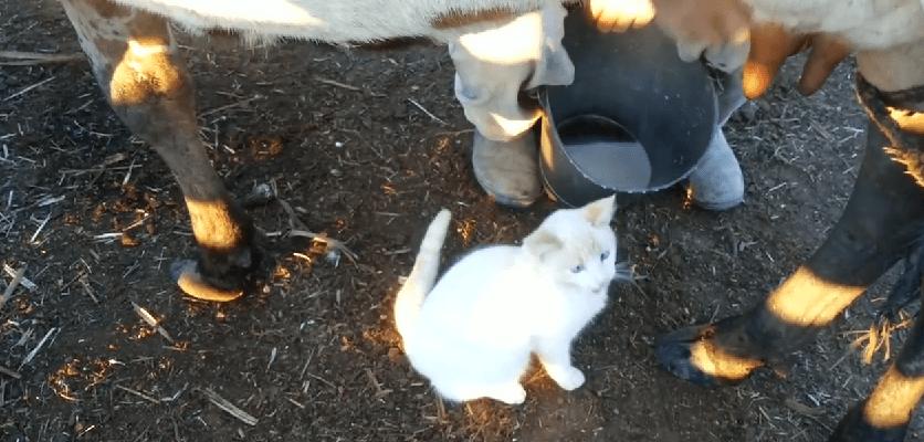 Bela maca voli mleko