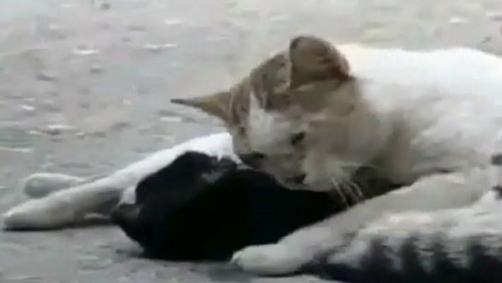 macja ljubav