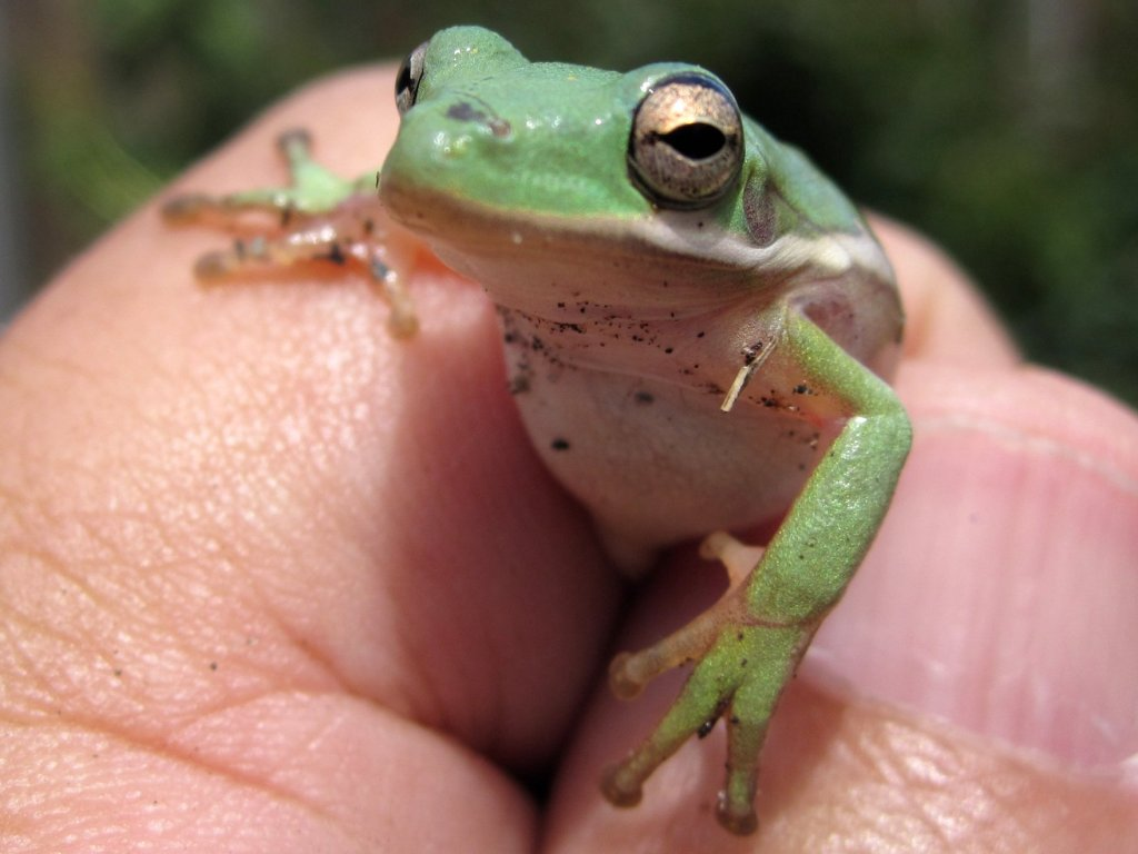 Right now, Jeff's frog pond is filled with 50 baby tree frogs, like this fella. Photo: Tony Alter
