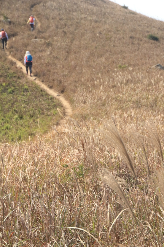 近山頂發現芒草蹤跡
