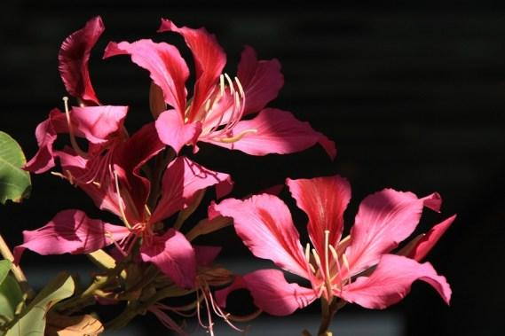 青康路遊樂場路上的洋紫荊