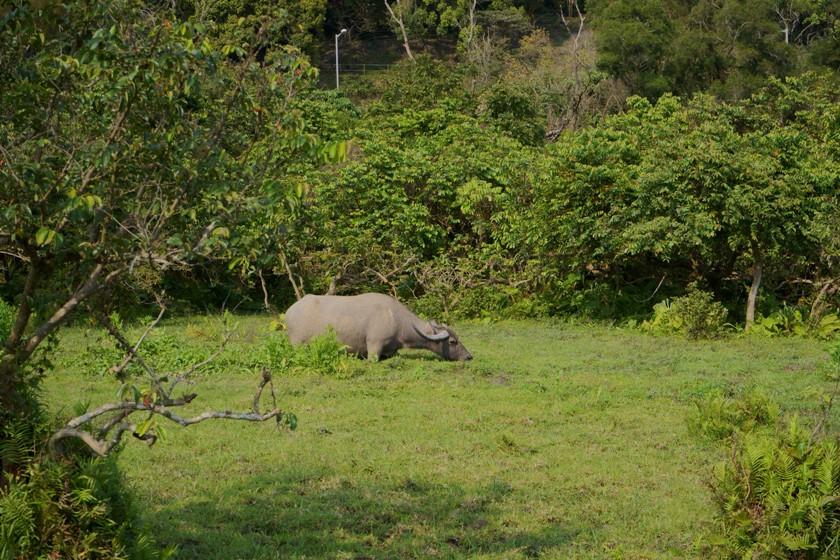 水口村的一頭水牛