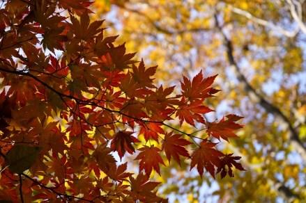 七裂的韓國楓葉