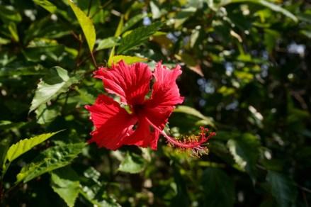 山徑旁有不少大紅花