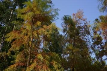 塘畔的落羽松已漸漸轉色