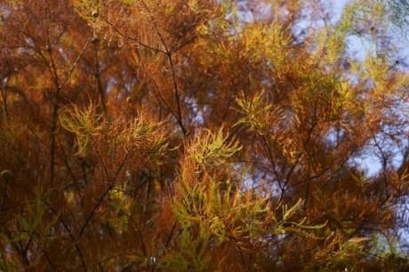 金黃色的落羽松