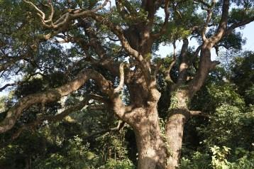 禾徑山神木