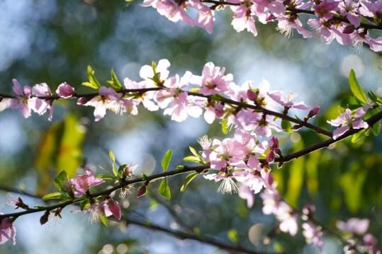 士多旁的桃花樹