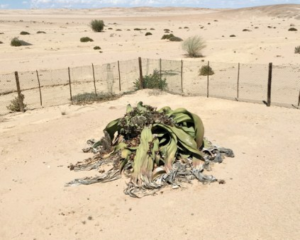 1,500 year old Welwitschia Plant
