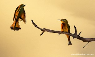Little Bee-eaters Malyo Wilderness Camp, Kwando River, Caprivi Strip, Namibia