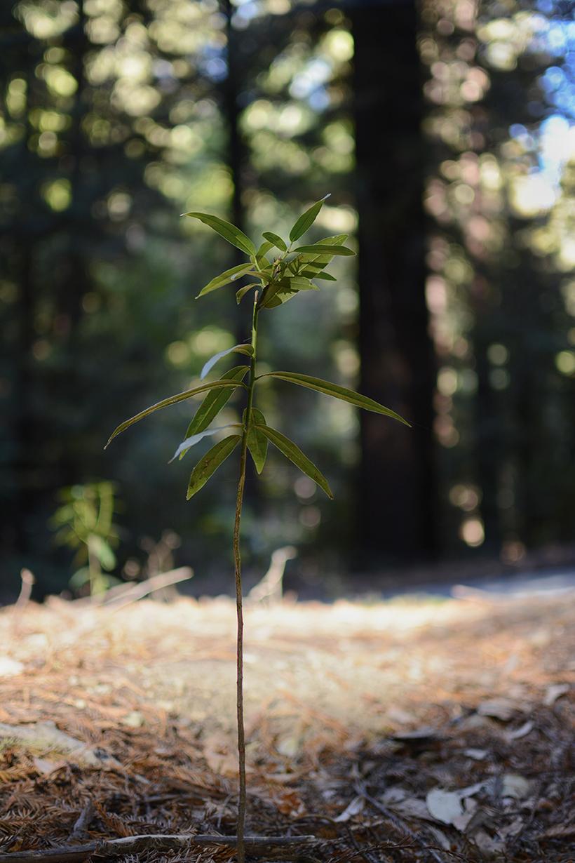 Sapling under Redwoods #2