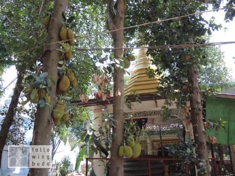 Durian Früchte. Auch bekannt als Stink- oder Käsefrucht.