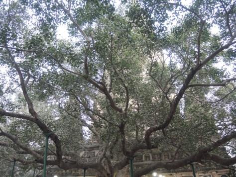 Größtes Heiligtum der Buddhisten: der Bodhi Baum