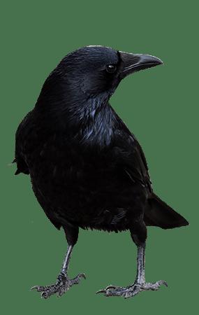 einstein corvidae crows ravens