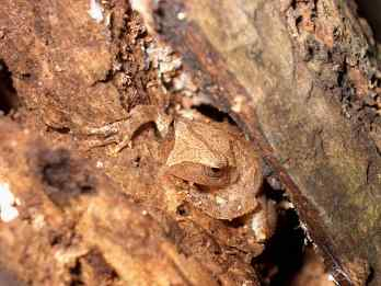 frog-in-decaying-stump