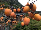Persimmon are everywhere