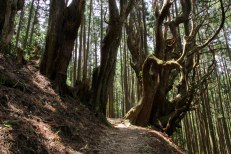 Large trees along the Kohechi trail