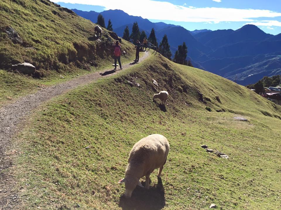 清境農場觀山牧區小羊兒