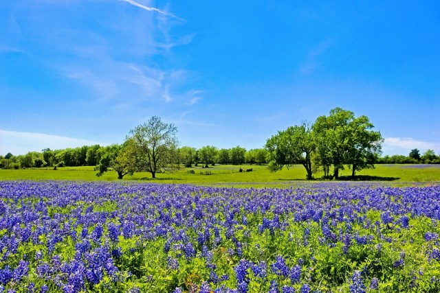 Brenham is one of the best places to see bluebonnets