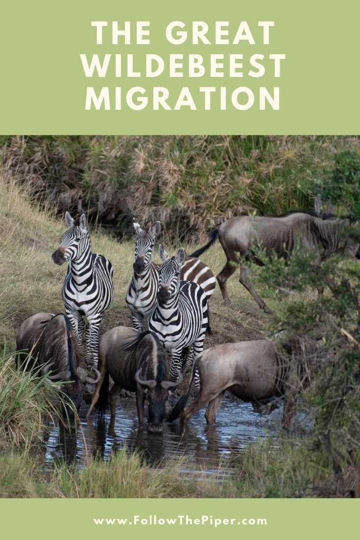 Zebra and Wildebeest on the Great Migration in Tanzania