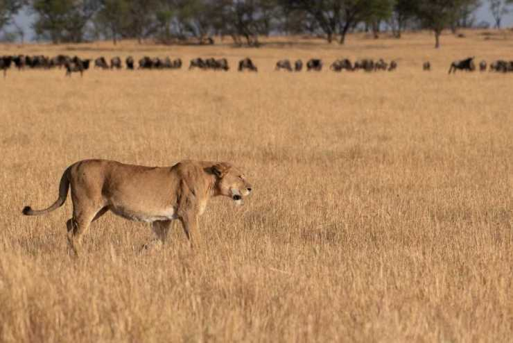 A Lioness Surveys the Wildebeest