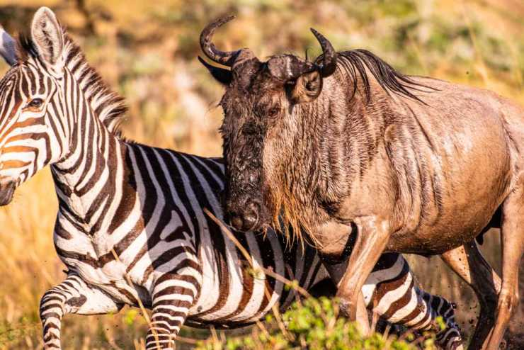 Wildebeest and Zebra Ascend from the Mara River
