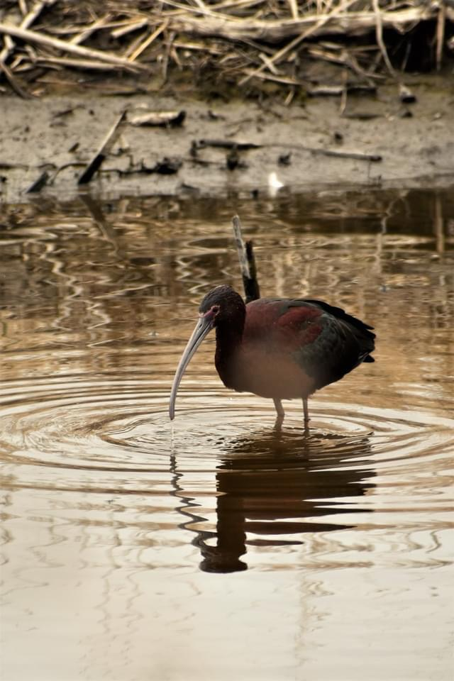 Glossy Ibis at Cheyenne Bottoms