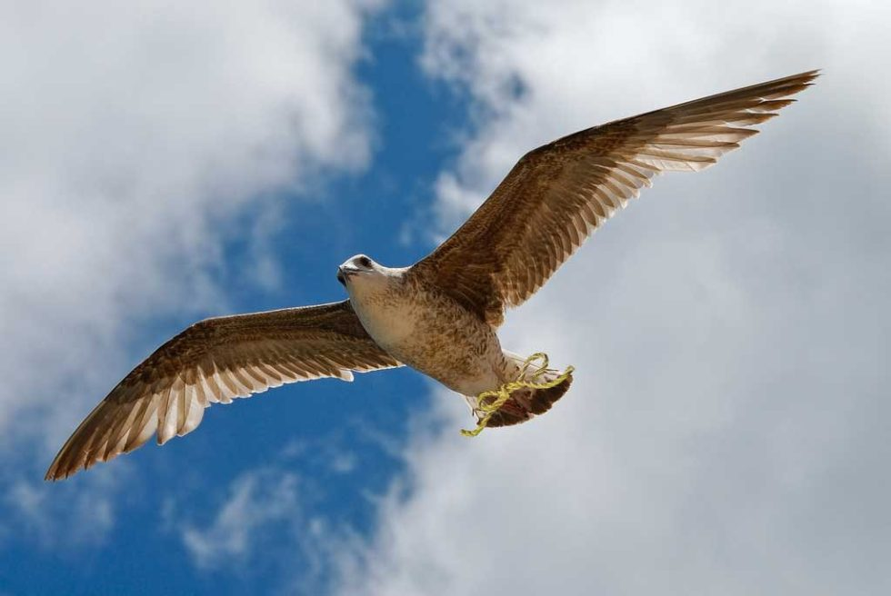 Falcon with a golden strand