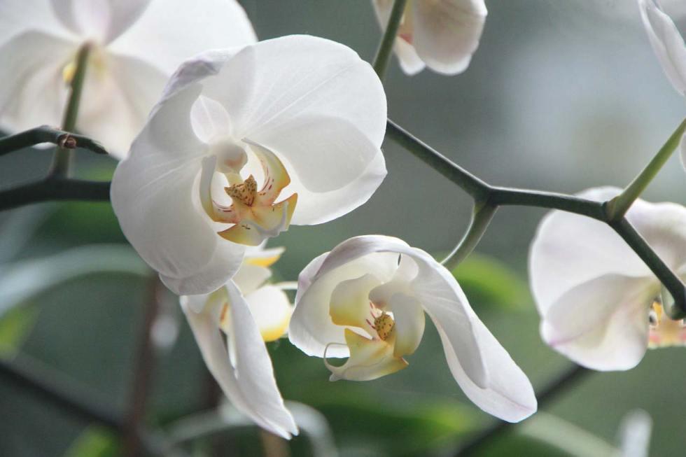 Sending white orchids