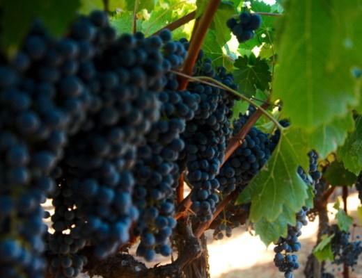 Winogrona w jednej z winnic w Napa