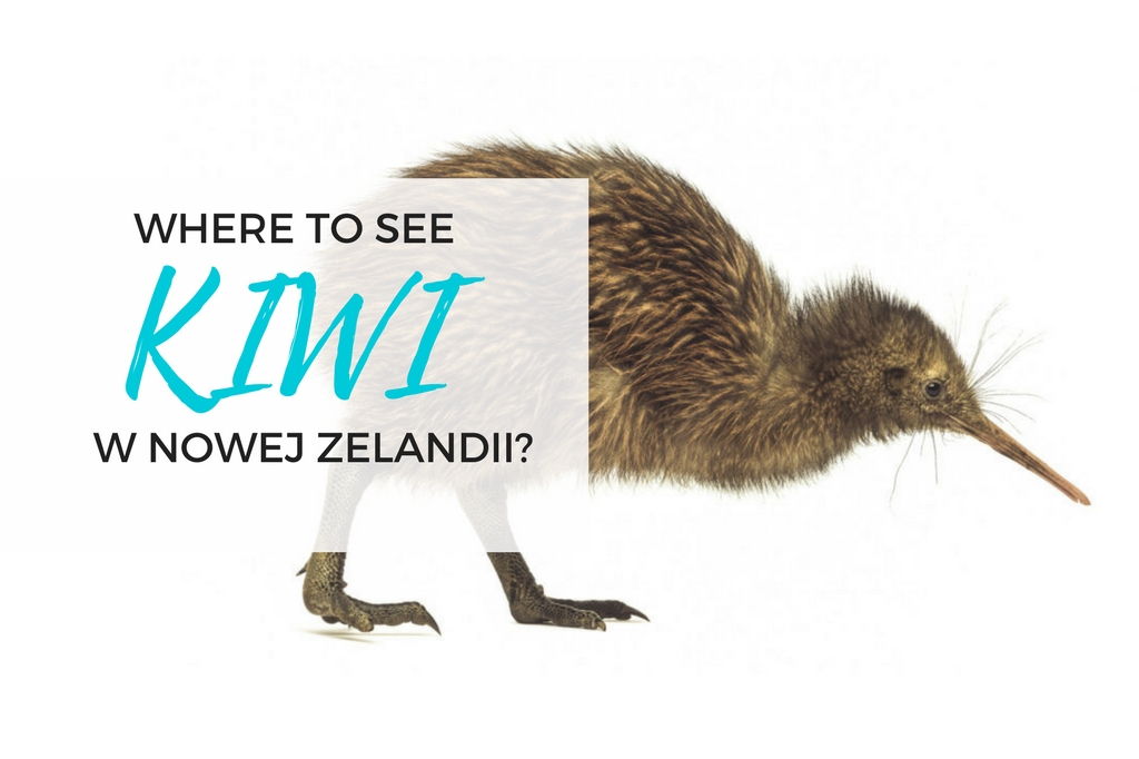 kiwi bird - where to see kiwi in new zealand